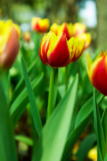Spring tulips Flower Pot Flowering Plant Flowers,Plants & Garden Tulips Beauty In Nature Close Up Flower Close Up Photography Close-up Flower Flower Collection Flower Head Flowering Plant Fragility Freshness Growth Nature No People Outdoors Petal Plant Spring Flowers Spring Tulip Tulip Tulips Flowers Vulnerability