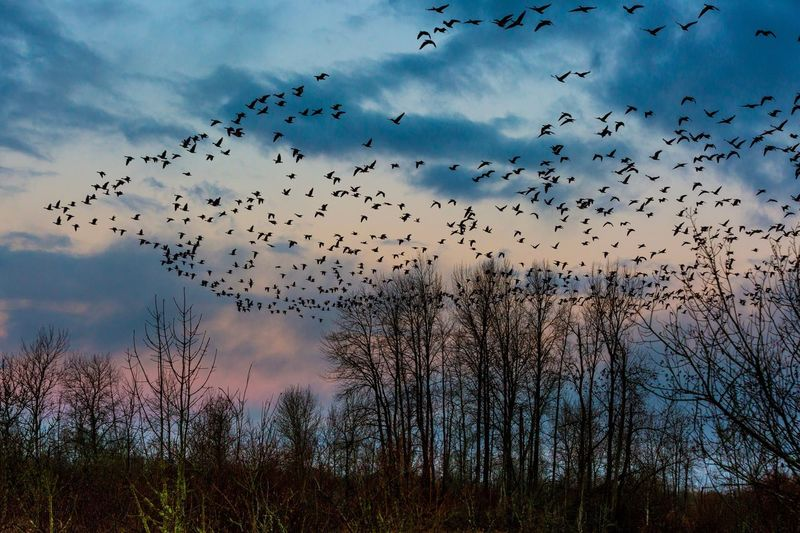 Low Angle View Of Birds Flying Over Bare Trees Against Sky