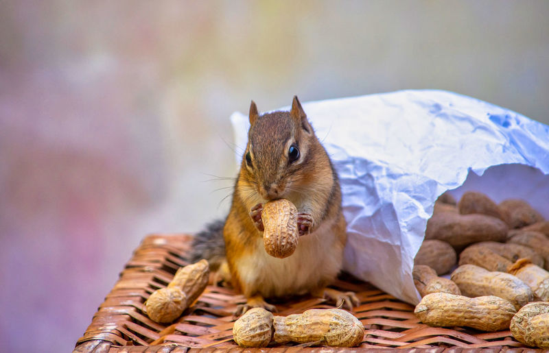 Adorable chipmunk nibbles on a peanut shell as he sits next to a bag of spilled nuts