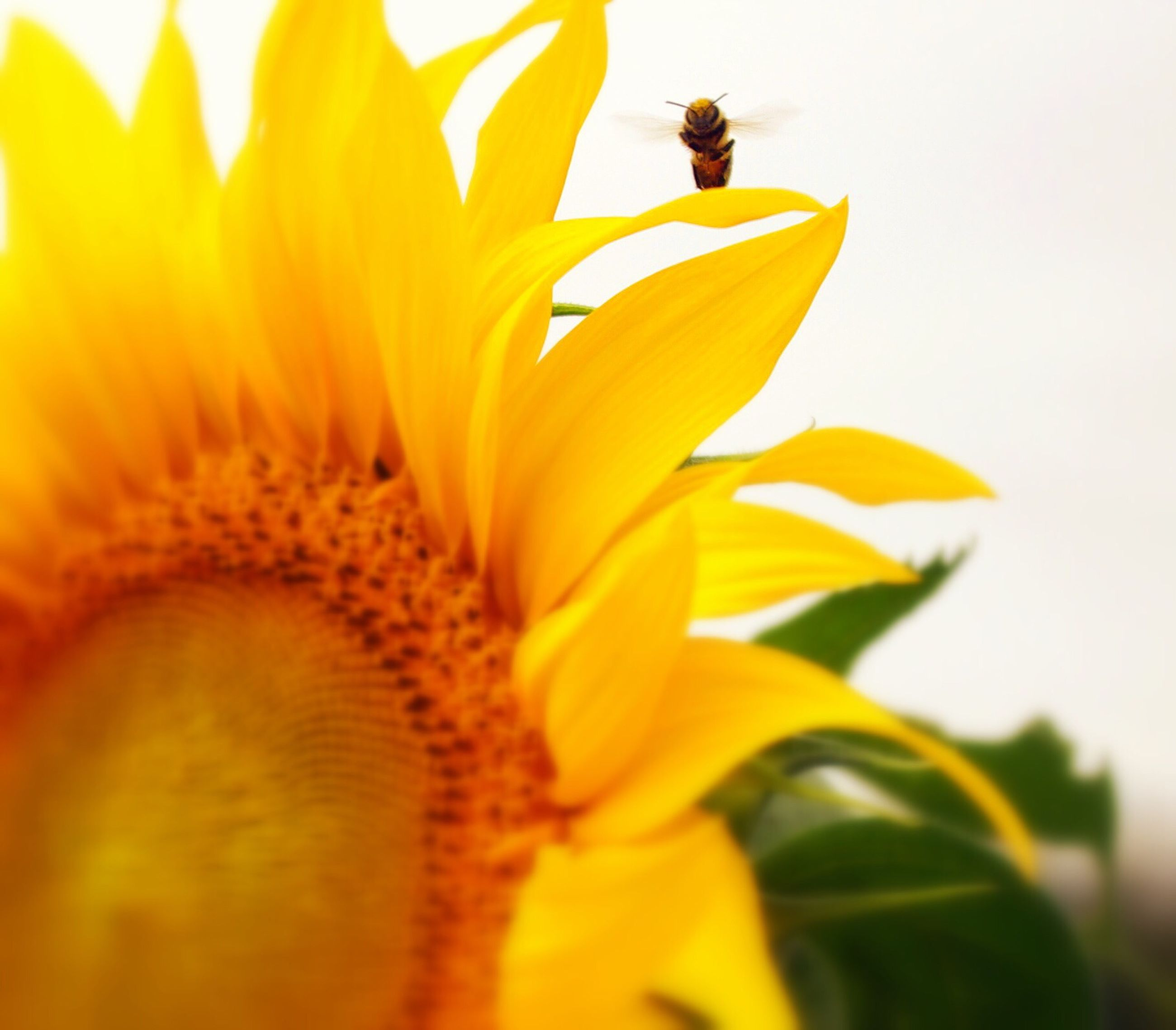 flower, petal, yellow, freshness, flower head, fragility, growth, beauty in nature, sunflower, close-up, pollen, nature, blooming, single flower, focus on foreground, plant, in bloom, selective focus, stamen, botany