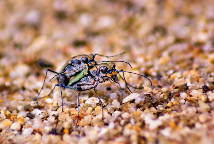 Cicindelidae, Tiger beetle Cicindelidae Tiger Beetle Animal Themes Animal Wildlife Animals In The Wild Close-up Day Insect Nature No People One Animal Outdoors Selective Focus