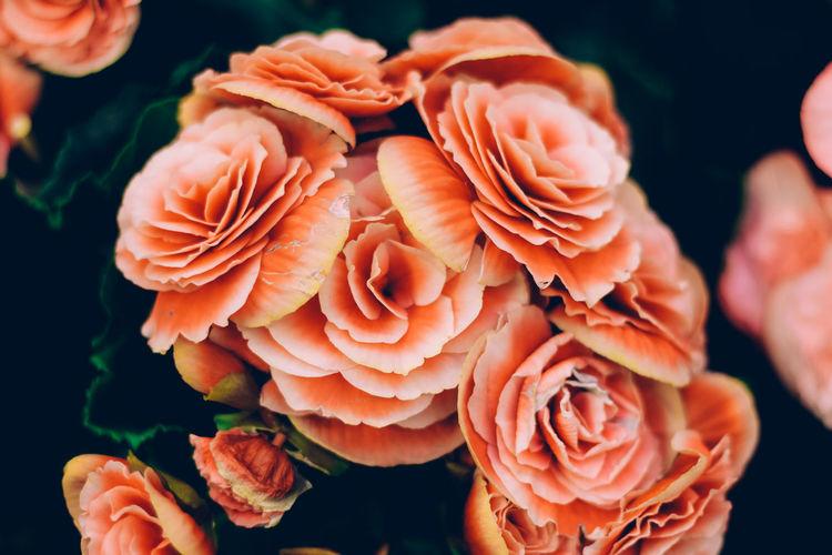 Close-up of orange roses