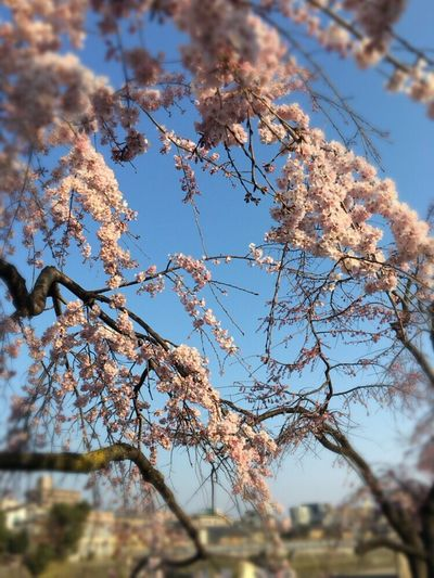 Cherry Blossoms Kyoto Spling Sakura Sakura 2017 Kyoto Sakura 2017 Kyoto,japan Kyoto Sakura Kyoto Sakura Sky