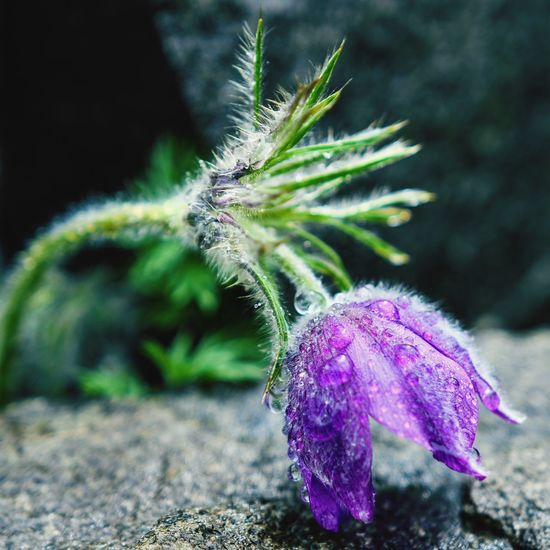 After rain Pasqueflower Raindrops Plant Close-up Growth Beauty In Nature Flower Flowering Plant Nature Focus On Foreground Fragility Freshness Day