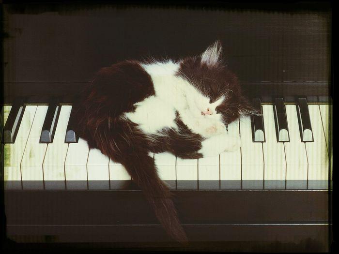 Hi! Sleeping Cat Cutness :3 Piano ???