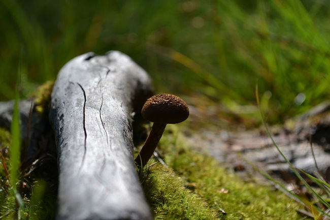 Beginnings Close-up Focus On Foreground Forest Fragility Freshness Fungus Grass Green Growing Growth Leaf Macro Macro Photography Macrography Mushroom Mushroom_pictures Mushrooms Nature New Life No People Norway Selective Focus Toadstool Zoology