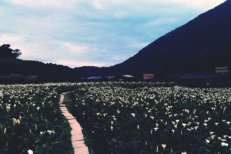 Calla Lily Fields Taiwan YangMingShan Flowers Landscape