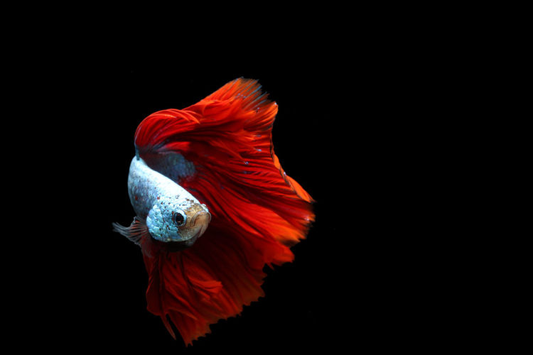 Beautiful Fish Betta  Betta Fish Cute Fish  Fighting Fish Halfmoon Betta Long Tail Betta Red Tail Betta Siamese Siamese Fighting Fish