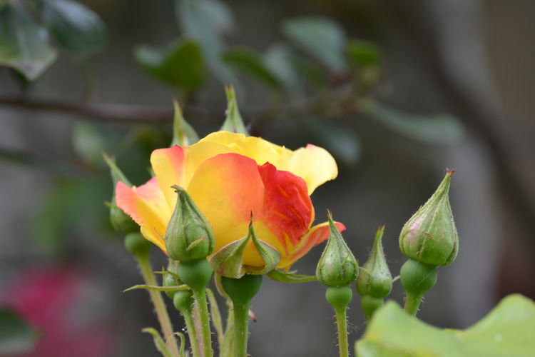 Rose - Flower Yellow Flower Red Flower Head Flower Prickly Pear Cactus Leaf Closing Close-up Plant In Bloom Blooming Botany Single Flower