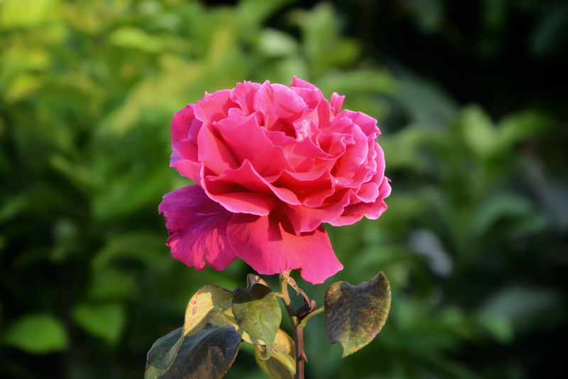 Beauty In Nature Close-up Day Flower Flower Head Freshness Nature Outdoors Petal Pink Color Rosé Rose - Flower