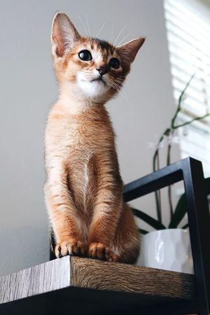 Abyssinian  Kitten Cat One Animal Animal Themes Animal Mammal Pets Domestic Animals Indoors