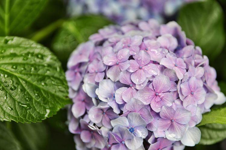 여름비에 촉촉해진 수국 . . #하루한컷 #레이니데이 #수국 #수국은수국수국해 #5DMARK4 #신계륵 #EF2470F28LIIUSM Flower Flower Head Leaf City Purple Agriculture Close-up Plant