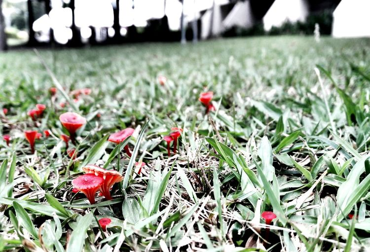Field Growth Red Nature Outdoors Grass Day Close-up Beauty In Nature Mushrooms 🍄🍄