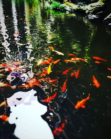 Adapted To The City Water Pond Swimming Animal Themes Fish Koi Carp Carp Nature Large Group Of Animals Animals In The Wild School Of Fish High Angle View Sea Life Multi Colored Day No People Outdoors Close-up
