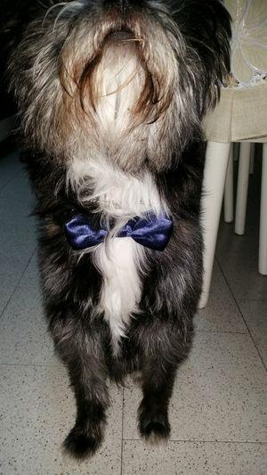 Pets Domestic Animals Cucciolo Pet Elegante Fiocco Blue Papion