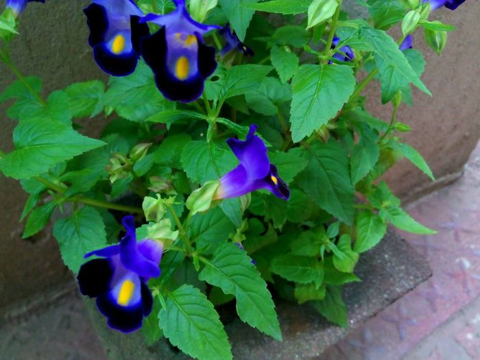 Heyyyy, Relaxing Taking Photos Plants And Flowers Plants 🌱 Purple Flower Flower Pot Backyard Flowers Pure Clearity Flower Collection Green Leaves With Purple Flower Nice Combo But Still A Lot To See In Nagpur,India