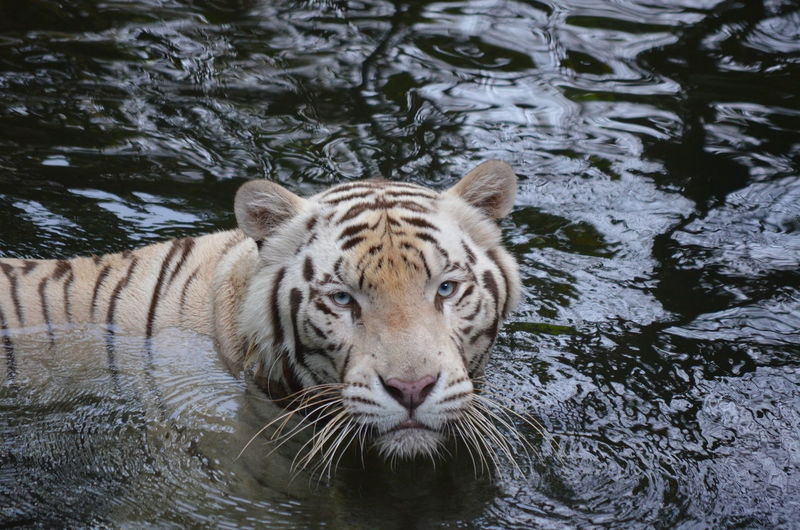 Portrait of tiger swimming in lake