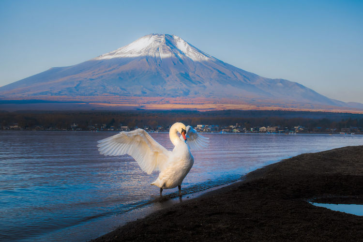 Swan Wading In Sea Against Mountain