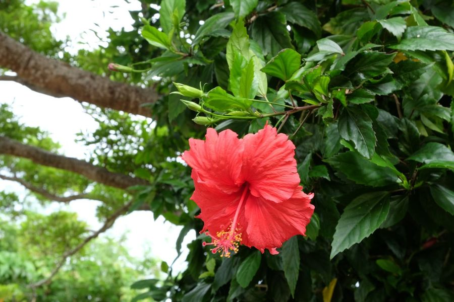 🌺 Flower Leaf Nature Petal Beauty In Nature Green Color Plant Freshness Hibiscus Red Flower Head