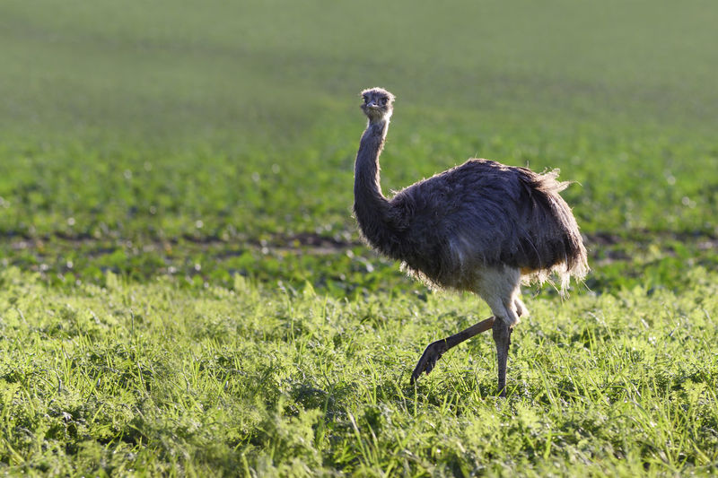 Wild american greater rhea or nandu (Rhea americana) on a field in Mecklenburg-Western Pomerania, Germany. A small group of these ratites escaped 2000 from an enclosure and has now established itself into a stable population, copy space Nandu Nandus In Germany Rhea Americana Greater Bird Flightless Field Farm Ratite Outdoors Animal Wildlife Animals In The Wild One Animal Nature Day Grass Mecklenburg-Vorpommern Escape Freedom Animal