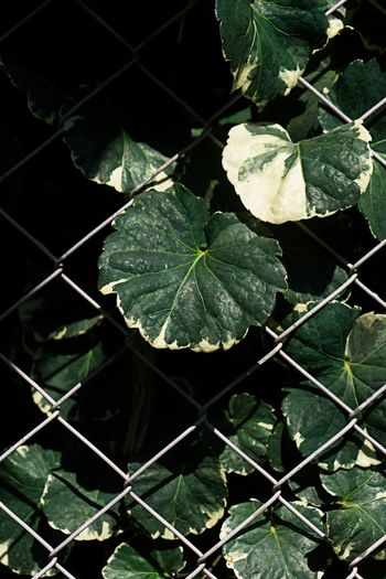 Mesh Barrier Beauty In Nature Boundary Chainlink Fence Close-up Day Fence Focus On Foreground Fragility Freshness Green Color Growth High Angle View Leaf Leaves Nature No People Outdoors Plant Plant Part Vulnerability