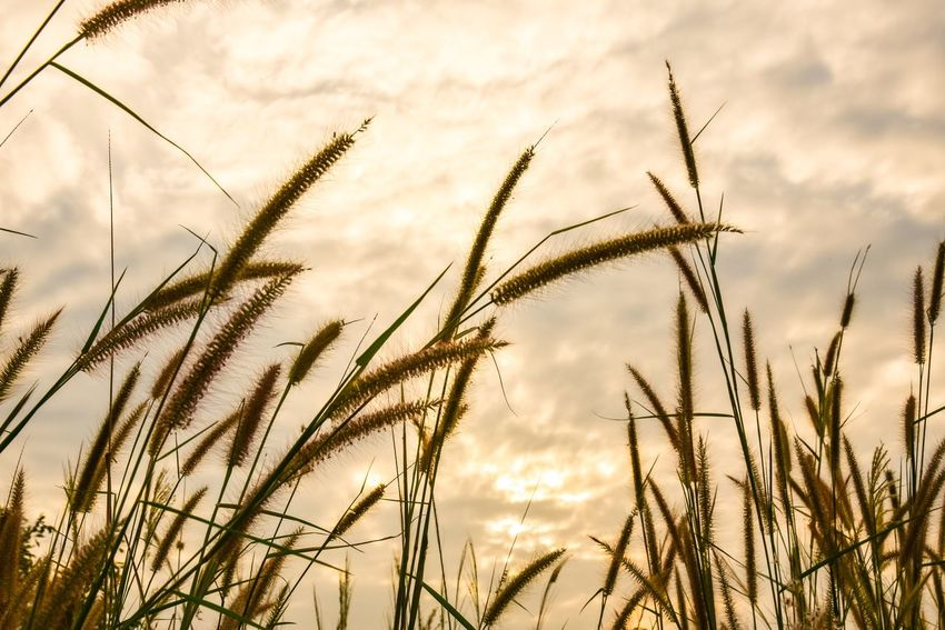 Growth Nature Plant No People Tranquility Field Beauty In Nature Outdoors Sky Tranquil Scene Agriculture Day Rural Scene Cereal Plant Scenics Wheat Grass Close-up Freshness
