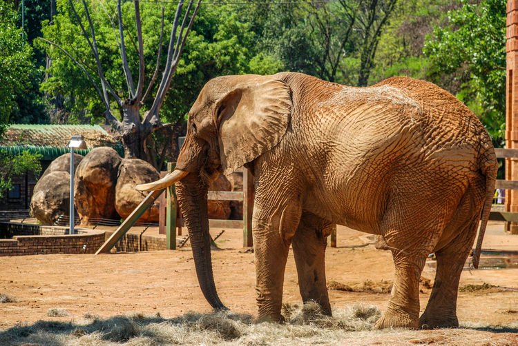 An elephant eating. Large Sunny Tusk Safari Eating Summer Walking Tail Long Wild Trunk Travel Travel Destinations Grass Outdoors Strength Wildlife Mammal Nature Day Animal Themes Elephant African Elephant Tree Animal Trunk Safari Animals Animal Themes Trunk Herbivorous Tusk