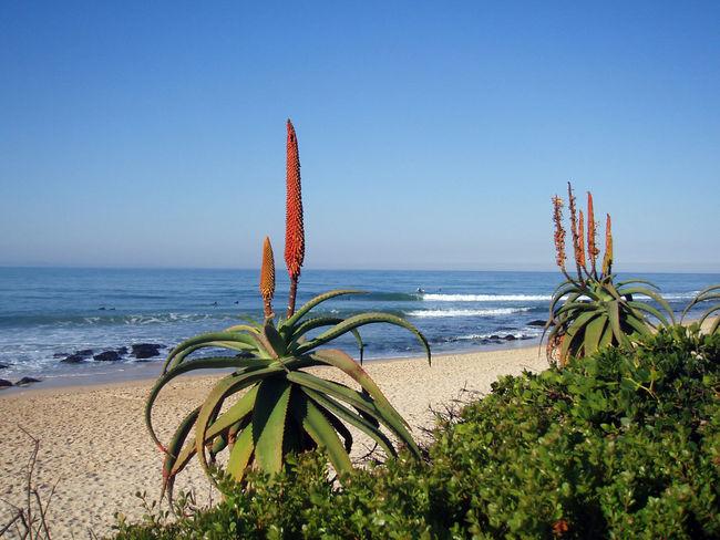 Aloes at Supertubes, Jeffreys Bay. Jbay South Africa SurfersBeauty In Nature Jbayopen Aloevera Flower Beach Sea Aloe Waves, Ocean, Nature Scenic View Horizon Over Sea Idyllic