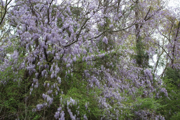 Spring 2018 Wildflowers and Blooms Wild Wisteria Blooms Wisteria Flower Beauty In Nature Blossom Branch Day Flower Fragility Freshness Growth Low Angle View Nature No People Outdoors Scenics Springtime Tranquility Tree