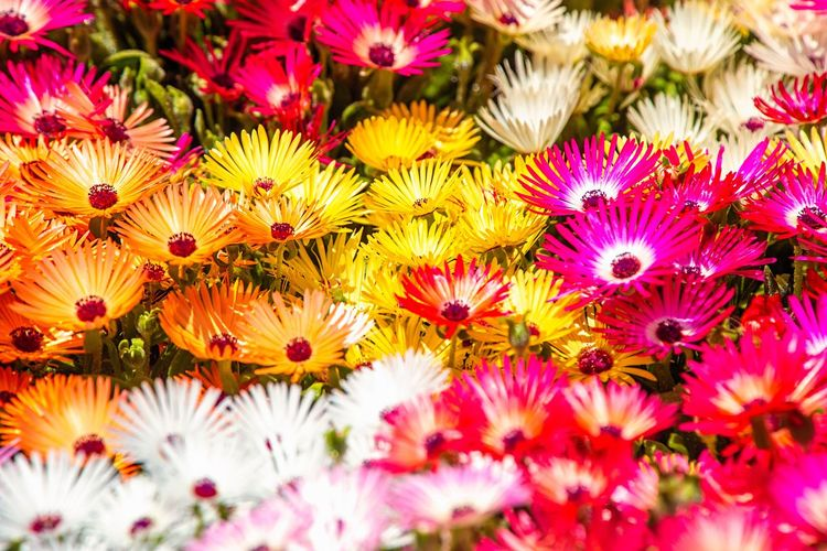 Outdoors Springtime Livingstone Daisies Flowering Plant Flower Freshness Plant Flower Head Multi Colored Fragility Beauty In Nature Petal Inflorescence Vulnerability  Close-up No People Nature Backgrounds Full Frame Variation Daisy Growth Choice