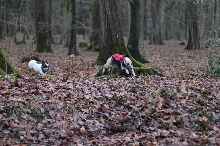 Caught In Action Dog Dog Friends Dog Friendship Dogs Dogs In Action Fliegender Whippet Flying Whippet Hund Hund In Aktion Hunde Hunde Im Wald Hunde In Aktion Jumping Dog Laufende Hunde Outdoors Playing Dogs Running Dogs Spielende Hunde Whippet Whippet Im Flug Whippet Im Sprung Whippet In Action Whippet In Flight Whippets