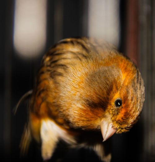 the canaries Animal Themes One Animal Animal Close-up Animal Wildlife Focus On Foreground Indoors  No People Pets Hair Domestic Animals Animal Body Part Rodent Animal Head  Nature Small Bird Birds Cute Canary