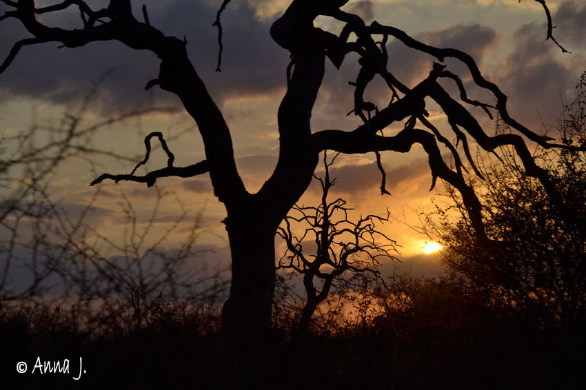 Sunset Collection African Sunset God's Canvas Kruger National Park, South Africa Nature Orange Sky Silhouettes Sunset Silhouettes Trees Beauty In Nature Landscape Nature No People Orange Sky Sunset Outdoors Scenics Sky Sunset Tranquility Tree Yellow Sky
