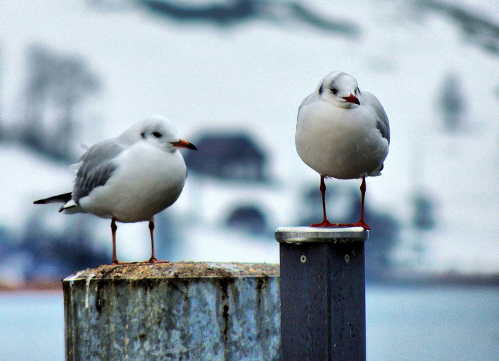 Animal Themes Animals In The Wild Bird Close-up Group Of Animals Nature No People Seagull Two Animals