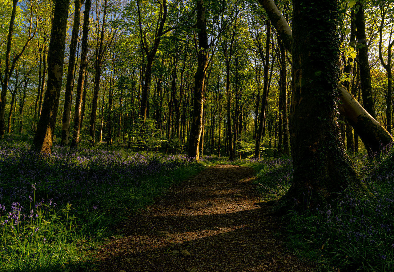 forest, tree, plant, land, tranquility, beauty in nature, woodland, tree trunk, trunk, growth, nature, tranquil scene, scenics - nature, no people, direction, day, non-urban scene, the way forward, footpath, outdoors, trail
