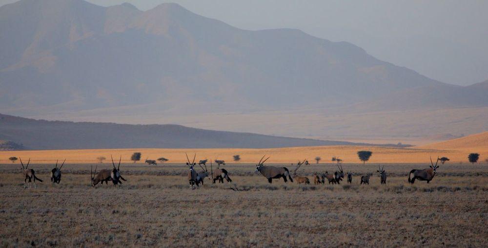 Gemsboks on field against mountains