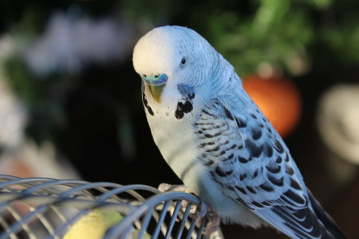 Budgerigar One Animal Close-up No People Animal Wildlife Bird Birdphotography Bird Photography Birds Of EyeEm  Budgies Budgie Budgielove Cage Pets Nikolis Birdy Birds Of EyeEm  Animal Themes Day Outdoors Nature Animals In Captivity Budgie Collection Budgielover Birds Of EyeEm