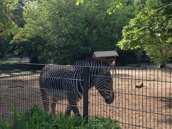 Zebra♥