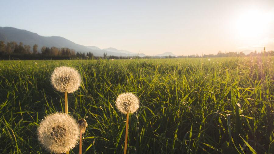 Dandelion Blooming On Field Against Sky