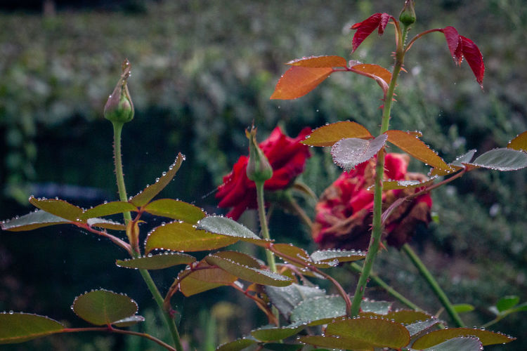 Close-up of raindrops on red flowering plant