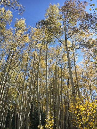 Aspen Grove Gold Aspen Trees Colorado Tree Nature Low Angle View Growth Beauty In Nature Day Outdoors Autumn No People Branch Tranquil Scene Scenics Sky Tranquility Sunlight Yellow Forest Flower