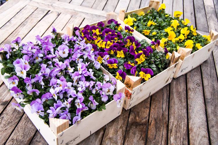 Basket Beauty In Nature Blooming Close-up Day Flower Flower Head Fragility Freshness Growth Nature No People Outdoors Pansy Petal Plant Potted Plant Purple Springtime Table Wood - Material