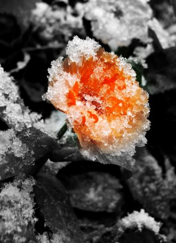 Snow Snow ❄ Flower Flower Collection Flower Photography Flower Head Flowers, Nature And Beauty Flowerlovers Snowy Beauty In Nature Nature_collection Nature Photography Beauty Of Nature Naturephotography Ice
