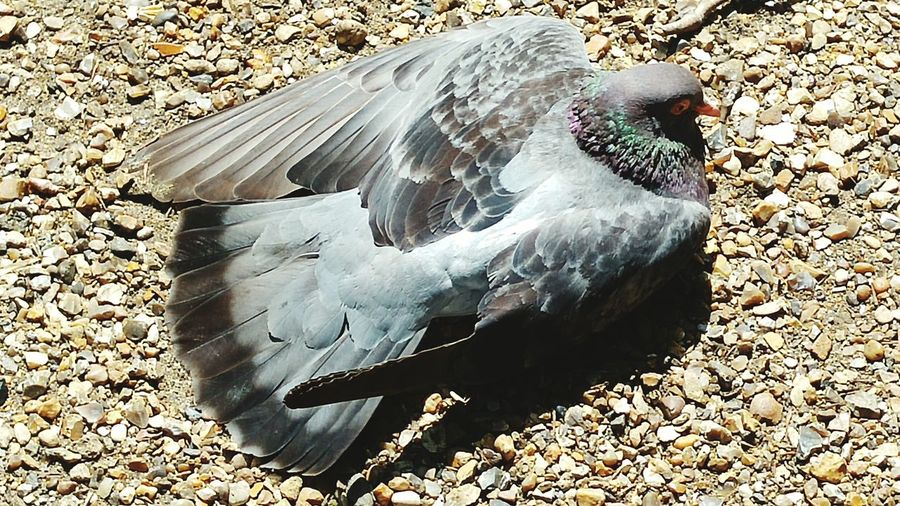 Pigeon Sunny Day Pigeon Basking In The Sun St James Park London  Close Up Bird Photography Nature_collection Nature Lover