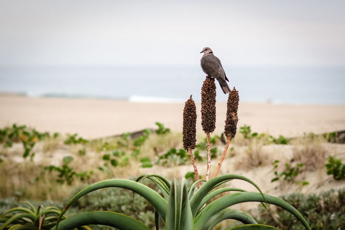 Looking at the waves Beach Photography Durban Durban South Africa The Week On EyeEm Aloe Vera Plant Beach Beachphotography Beauty In Nature Beauty In Nature Bird Day Fauna Focus On Foreground Nature No People Outdoors Pigeon Seascape Seaside