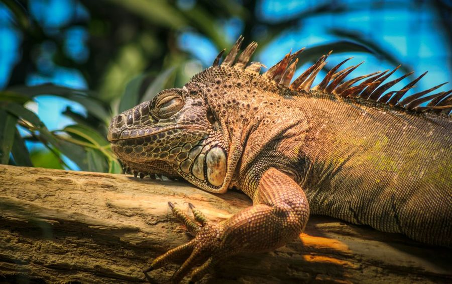 One Animal Animal Themes Animals In The Wild Nature Reptile Close-up Animal Wildlife No People Outdoors Beauty In Nature Animal Scale Sweet Switzerland❤️ Zürich Zurich, Switzerland Crocodilesfarm Crocosmia Crocodile Eyes Leguan Leguaan Leguan In THE Wild Leguaafuera Leguano Zoo Zoology