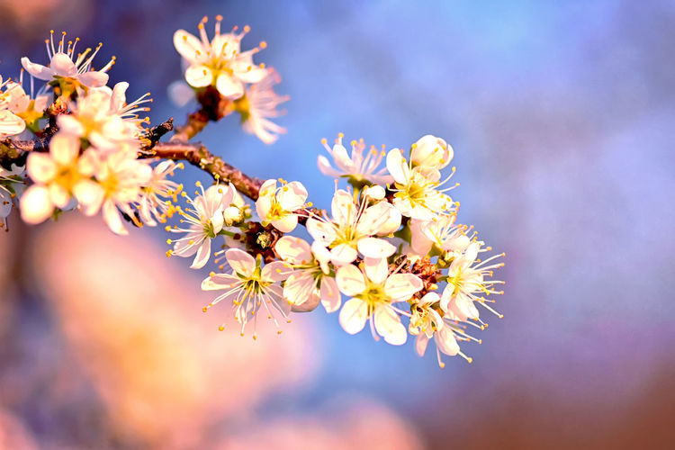 Flower Flowering Plant Freshness Plant Vulnerability  Fragility Growth Beauty In Nature Close-up Petal Selective Focus Flower Head Inflorescence Nature Springtime Day Yellow No People Pollen Blossom Outdoors Cherry Blossom Cherry Tree Spring