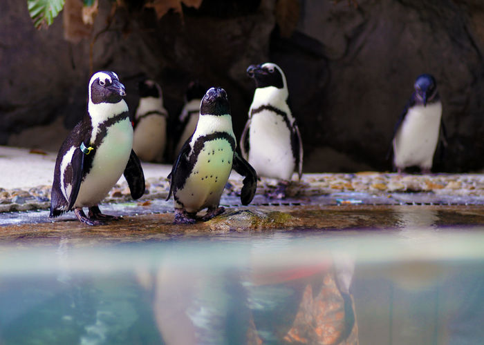 Animal Animal Themes Animal Wildlife Animals In The Wild Bird Close-up Day Full Length Group Of Animals Nature No People Outdoors Penguin Perching Selective Focus Surface Level Three Animals Vertebrate Water