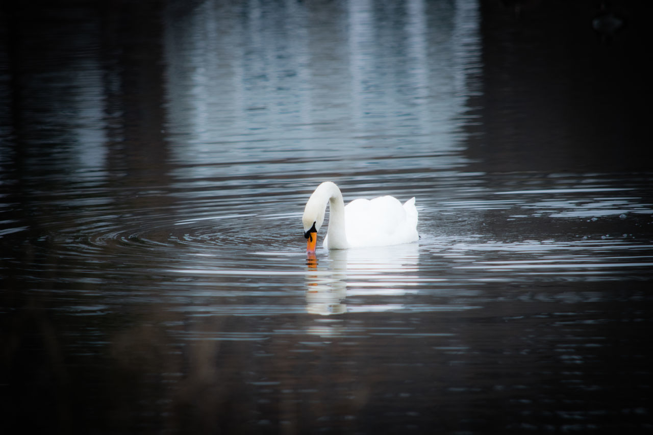 water, animals in the wild, animal wildlife, animal themes, bird, animal, vertebrate, lake, swimming, one animal, waterfront, swan, reflection, water bird, day, zoology, beauty in nature, white color, nature, no people, outdoors, floating on water, freshwater bird