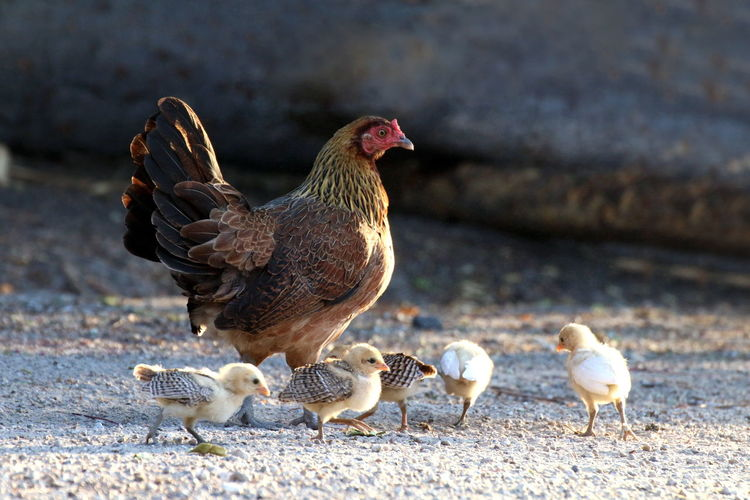 Hen and flocks, Hen chicks flock standing on the ground, flocks of chicks, chicken family Chicks Chicks And Hens Hen And Flocks Animal Animal Family Animal Themes Bird Chicken Chicken - Bird Chicken Family Chicks Flock Day Domestic Domestic Animals Family Flocks Family Hen Flocks Group Of Animals Hen Livestock Outdoors Pets Vertebrate Young Animal Young Bird